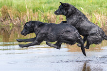 Two Black Labradors Jumping In...