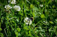 Bumblebee On White Wildflower ...