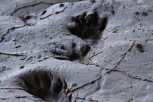 Raccoon Prints In The Mud