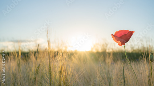 Fotografie, Obraz Beautiful landscape from golden field of Barley with Red Poppies (Papaver) in th