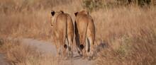 Lions Walking On Dirt Path