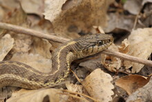 Garter Snake Coiled Up In Leaf...