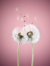 Close Up Of Dandelion Plants B...
