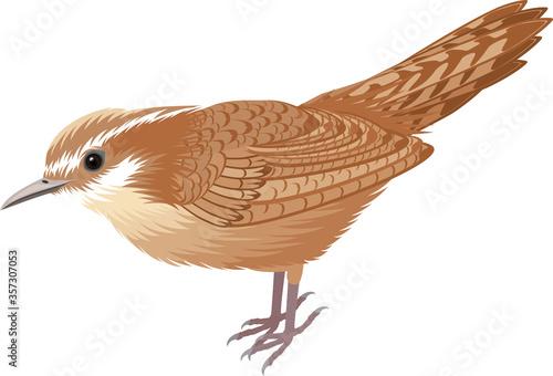 Stampa su Tela vector South Carolina State Bird - The Carolina wren (Thryothorus ludovicianus)