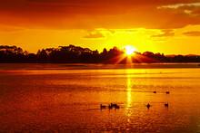 Sunset Scenery At Lake Rotoroa In Hamilton Lake Domain, Hamilton, New Zealand; Flock Of Ducks Swimming On The Lake Rotoroa