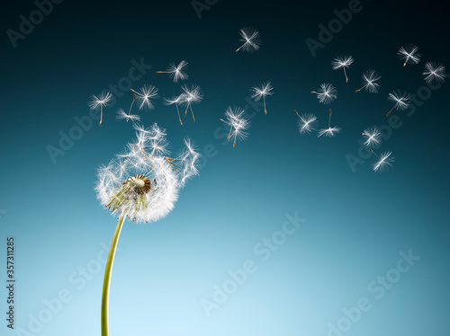 Tela Dandelion seeds blowing on blue background