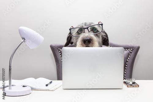 Fototapeta Dog Working on Computer From Home obraz