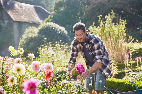Fotografia, Obraz Man pruning flowers in sunny garden