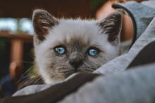 A British Shorthair Kitten Wit...