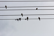 Birds On An Electric Cable