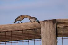 Bluebird, Female And Baby_2812