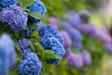 公園に咲く紫陽花 東...