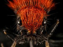 Velvet Ant Macro Specimen, Formicidae, Face
