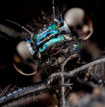 Calopteryx Maculata, Ebony Jewelwing Macro, Closeup Of Face Head Of Insect