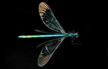 Calopteryx Maculata, Ebony Jew...