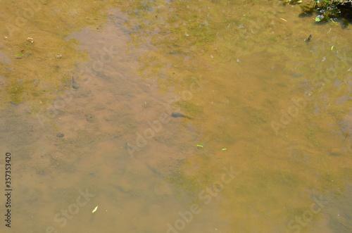 Fotografia, Obraz bullfrog tadpoles in muddy river or pond water