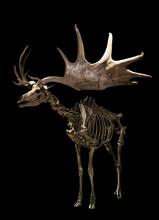 Giant Deer Bones Skeleton With Black Background