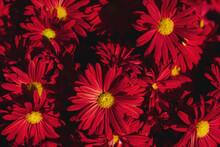 The Autumn Flowers, Chrysanthe...