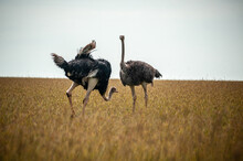 Wild Ostriches Walking On The ...
