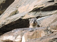 Rock Hyrax Looking Out From Its Rock