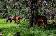 Beautiful View Of A Group Of Horses Grazing In A Pasture