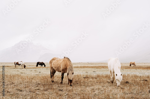The Icelandic horse is a breed of horse grown in Iceland Canvas Print