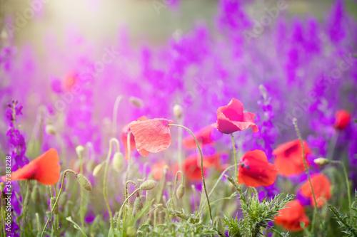 Fototapety, obrazy: Beautiful summer meadow of purple flowers