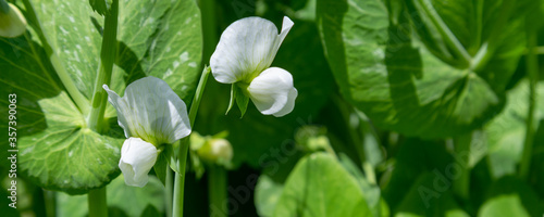 Photo Panorama with closeup of fresh purple beans flowers in the vegetable garden