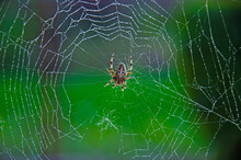 Big Spider Close Up On A Web With Drops Of Morning Dew, Close Up European Garden Spider