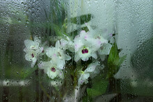 Beautiful White And Pink Dendrobium Orchid Flowers Behind Wet Glass With Streaks, Close-up, Selective Focus.