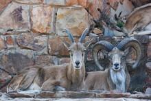 Pair Of Transcaspian Urials (Ovis Orientalis Arkal), Pretoria, South Africa