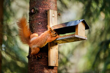 Squirrel Eats Seeds From A Bir...