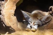 Sleeping Baby Fennec Fox Or Dessert Fox. Cute Animal Or Wildlife Portrait
