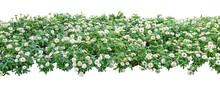 White Zinnia Violacea Flower ...