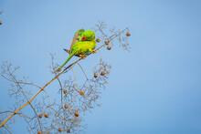 Green Red Parakeet Alexandrine Parakeet , Psittacula Eupatria