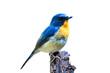 Hill Blue Flycatcher (Cyornis banyumas) isolate on white