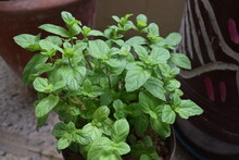 Fresh Home Grown Mint Plant