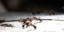 Big Red Forest Ant In Natural ...