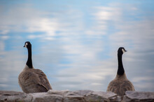 Two Canada Geese Sit Apart On ...