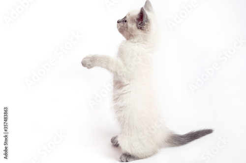 Fényképezés The funny white Thai kitten stands on its hind legs and looks up.