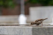 Tiny Female House Sparrow Drin...