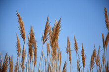 Blue Skies With Tall Grass Wit...