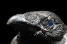 The Raven's Head Is Close-up I...