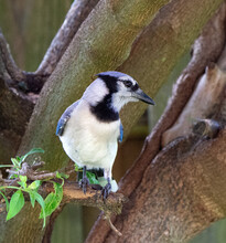 Bright Blue And White Blue Jay Is Showing Its Good Side While Posing On A Wooden Tree Trunk With Minimal Green Leaves.