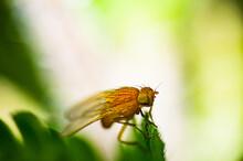 A Drosophila On A Green Leaf. ...