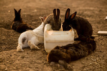 Many Rabbits Drinking Water In...