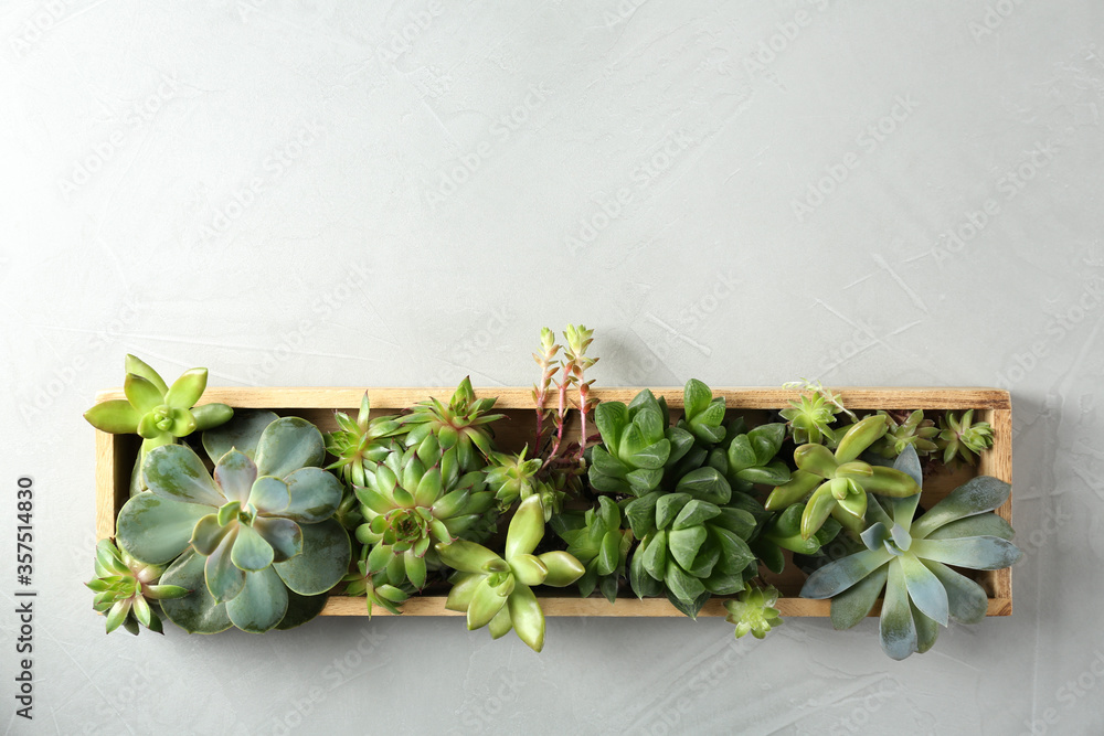 Fototapeta Many different echeverias in wooden tray on light grey background, top view with space for text. Succulent plants