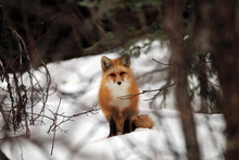 Red Fox In Haines Alaska