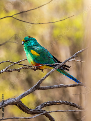 Fotografie, Obraz The adult male Mulga Parrot (Psephotus varius) is mostly emerald green in colour, but has a yellow band across its lower forehead