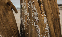 Cocles Attached To Driftwood On A Beach